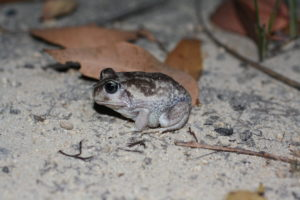 Moaning Frog