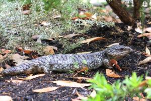 Southern Heath Monitor (KImberley Oswald © 2012)