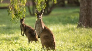 Kangaroos at Forest Rise