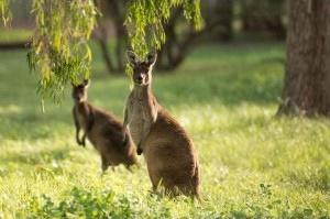 Kangaroos at Forest Rise