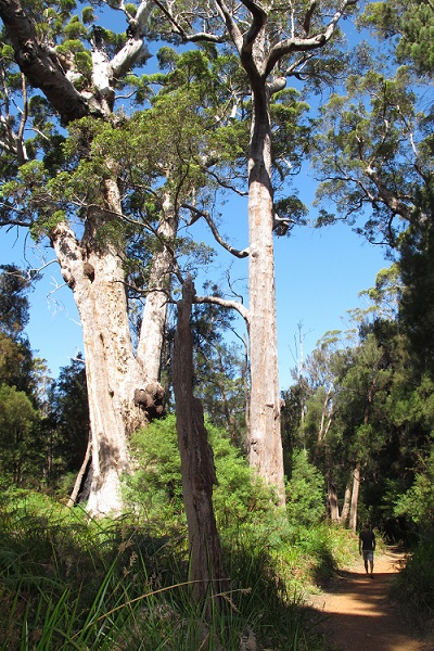 Karri Trees, Margaret River