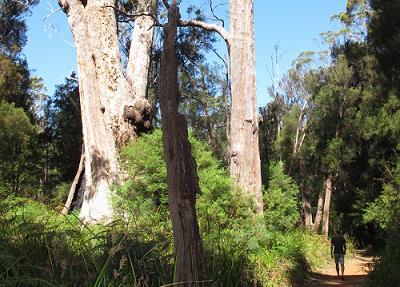 Karri Trees, Margaret River