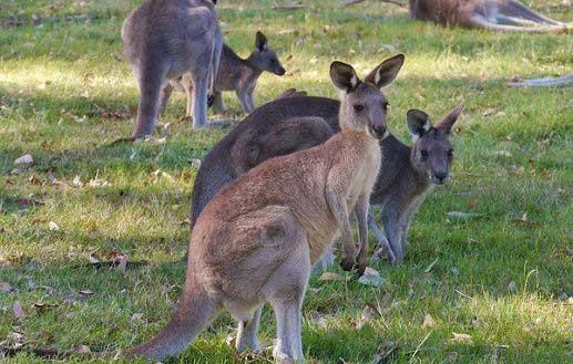 Kangaroos in WA