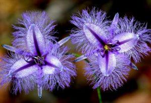 Fringe Lily Flower