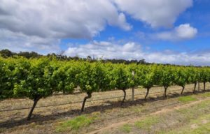 Vines on a sunny day in Margaret River.